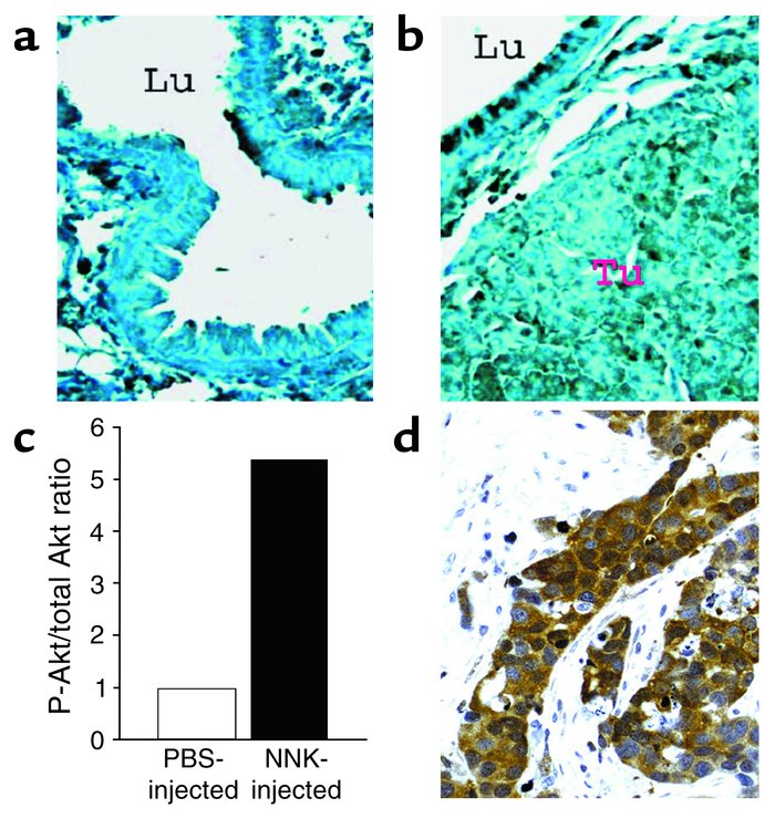 Detection of Akt phosphorylation in vivo. (a) Lung tissue, including epi...