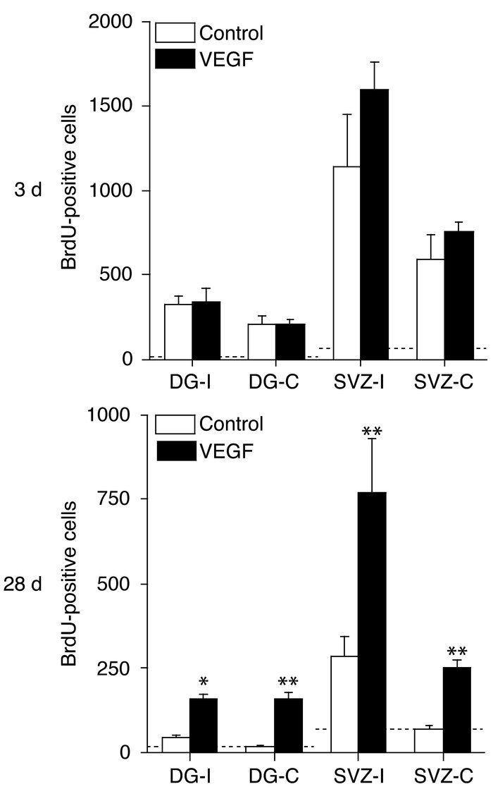Effects of intraventricular VEGF on the number of BrdU-labeled neurons i...