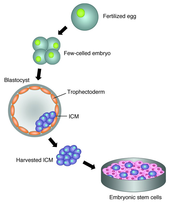 therapeutic cloning to obtain embryonic stem Embryos in stem-cell research the  of therapeutic cloning of human stem cells,  hampering the widely supported  efforts to find breakthrough treatment and.