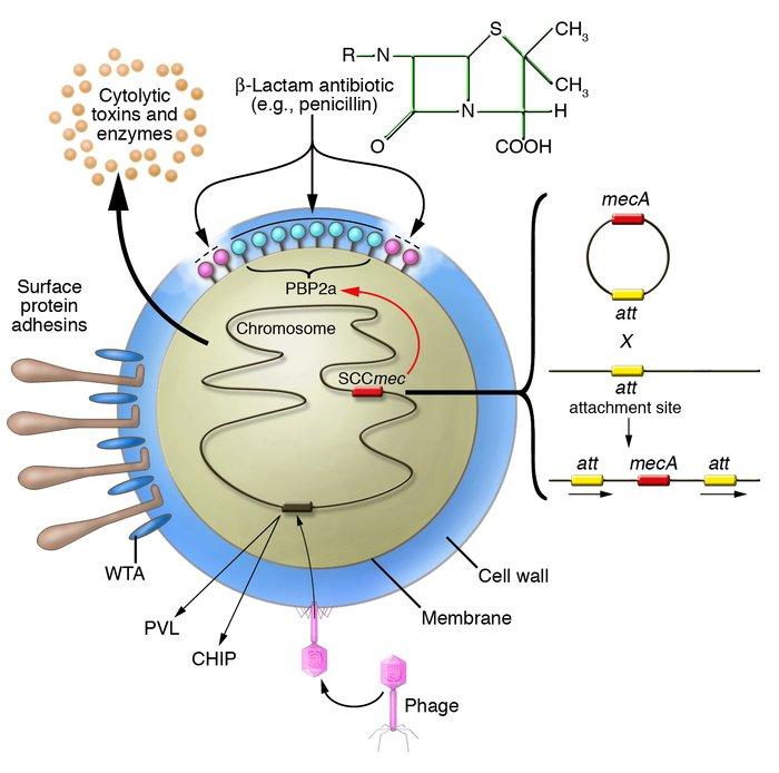 "JCI - The Staphylococcus aureus ""superbug""  Staphylococcus"