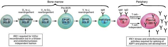 H Antigen JCI - Birth pangs: the...