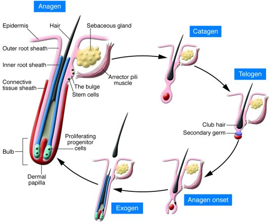 Hair follicle cycle.Cyclical changes in hair follicle growth are ...