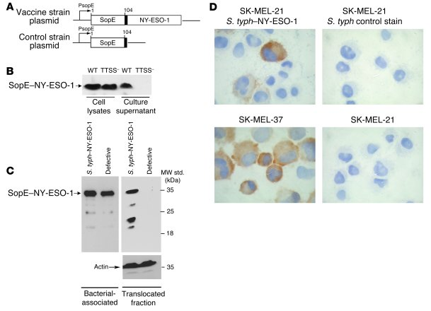 S. typhimurium                   type III secretion system delivers rec...