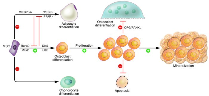 an introduction to the b cells produced in the bone marrow that are distributed through the body in  Normal cells may become cancer cells before cancer cells form in tissues of the body, the cells go through abnormal changes called hyperplasia and dysplasia.