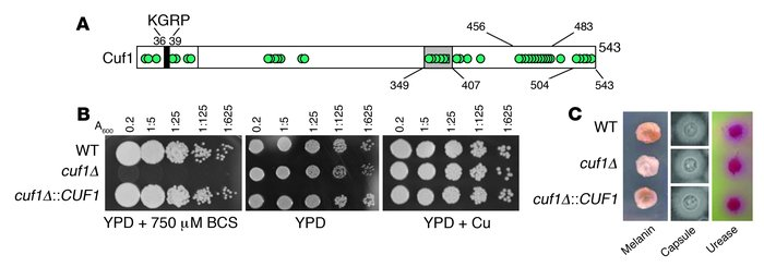 Deletion of CUF1 from C. neoformans yields a copper-sensitive phenotype....