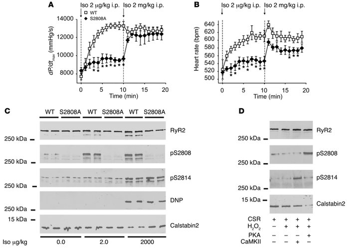 PKA phosphorylation of RyR2 mediates the chronotropic and inotropic resp...