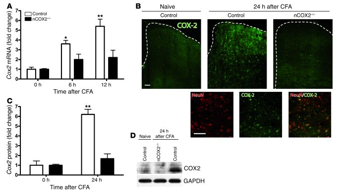 COX2 expression in the spinal cord of nCOX2–/– mice after ...