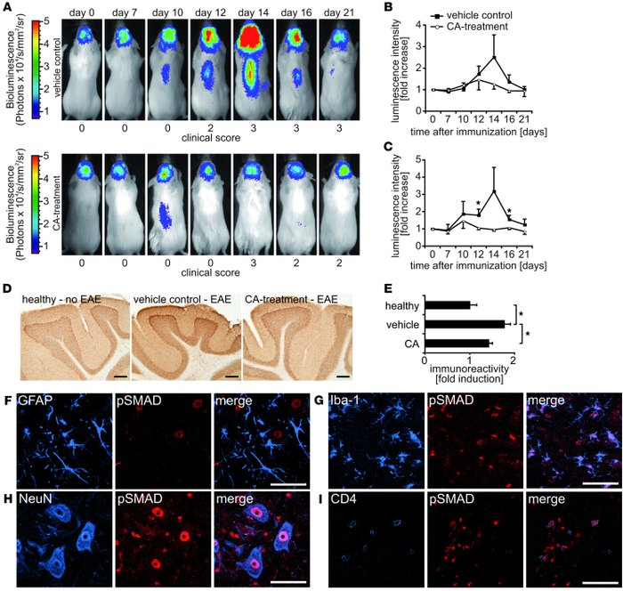 Downregulation of pSMAD after CA treatment. (A) In vivo bioluminescence ...