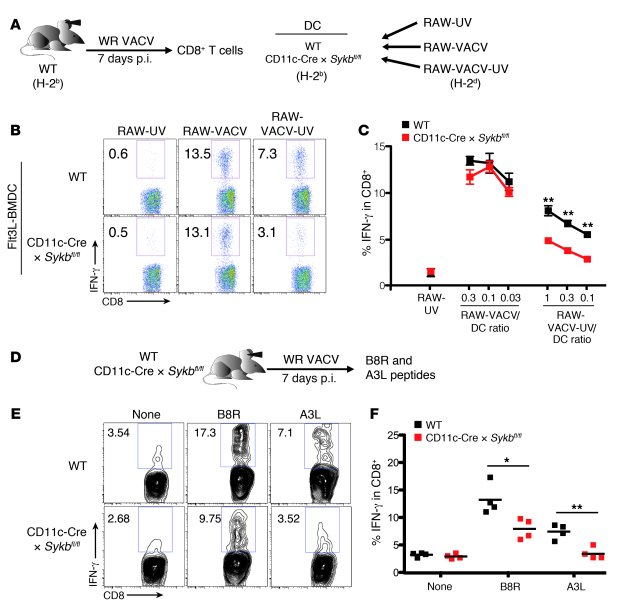 Syk deficiency in CD11c+ cells impairs the CD8+ T cell effector response...