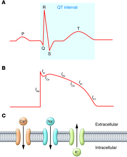 Cardiac Action Potential And Ecg Ecg And The Cardiac Action