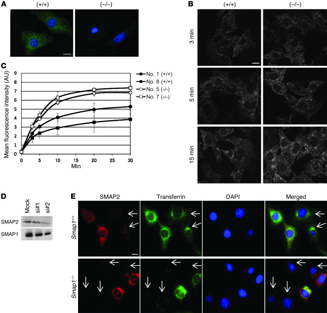 Transferrin transport in MEFs. (A) Immunofluorescence detection of endog...