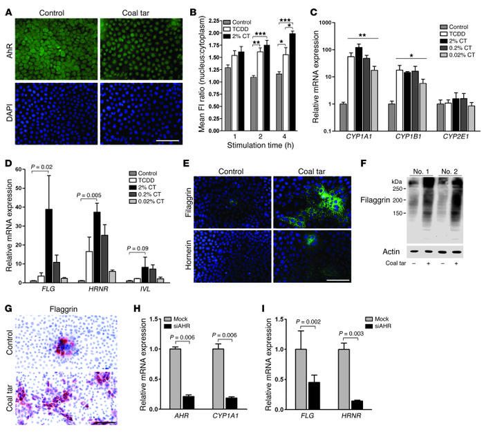 Coal tar induces epidermal differentiation via AHR signaling. (A) AHR st...