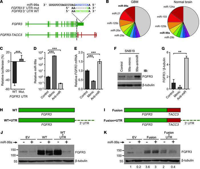 Loss of miR-99a binding site in the FGFR3-TACC3 fusion transcript leads ...