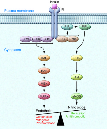 Distinct signaling pathways mediate insulin effects on nitric oxide and ...