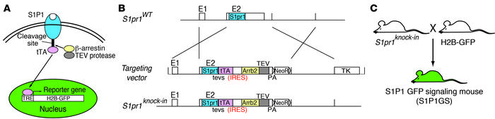 "Generation of S1P1 GFP signaling reporter mice. (A) Schematic of the ""Ta..."
