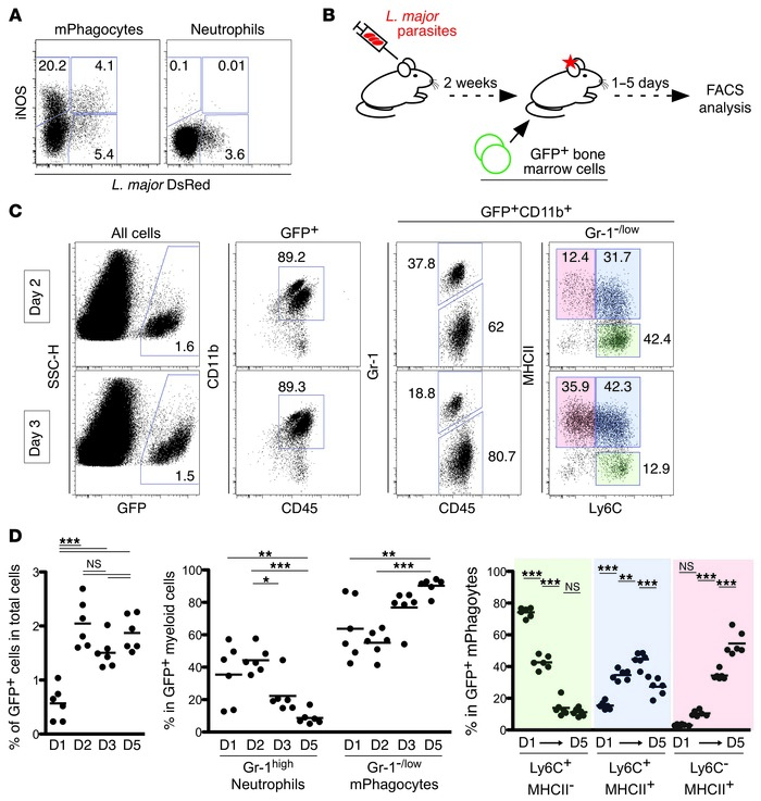 Tracking the fate of recruited phagocytes at the site of infection. (A) ...
