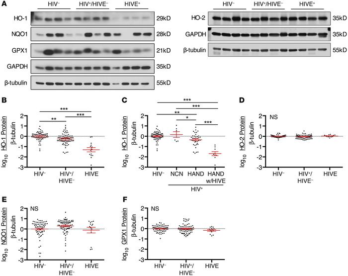 HO-1 expression is deficient in the DLPFC of HIV-infected subjects. Prot...
