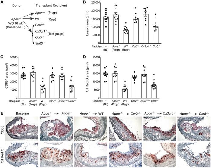 CCR2 and CX3CR1 are required for plaque regression. Analysis of aortic a...