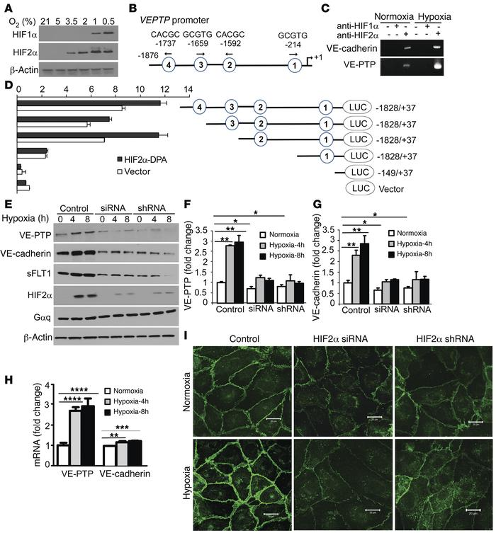 HIF2α induces VE-PTP expression and enhances the integrity of endothelia...