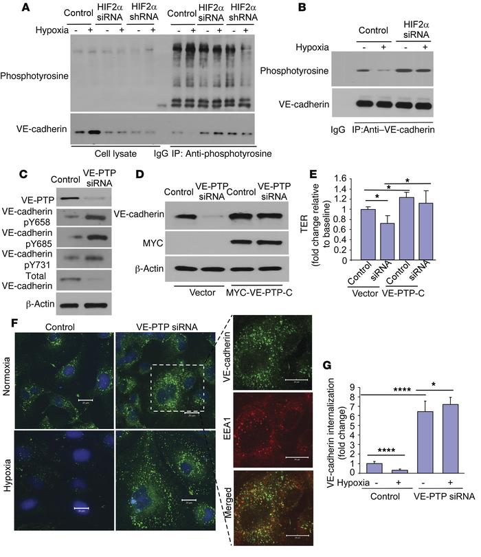 HIF2α-induced VE-PTP expression mediates AJ integrity through retention ...