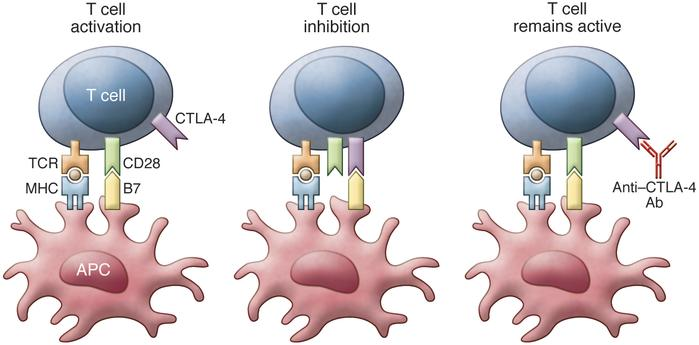 T cell activation requires costimulation through TCR and CD28. Binding o...