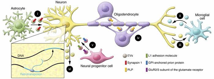 EV-mediated intercellular communication between cells in the nervous sys...