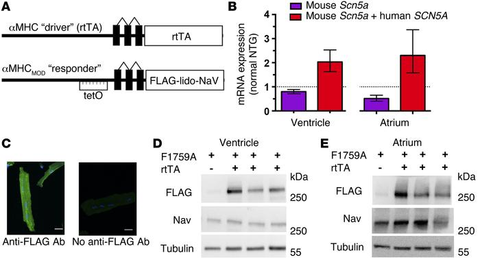 Cardiac-specific, FLAG-tagged F1759A-NaV1.5–expressing TG mice. (A) Sche...