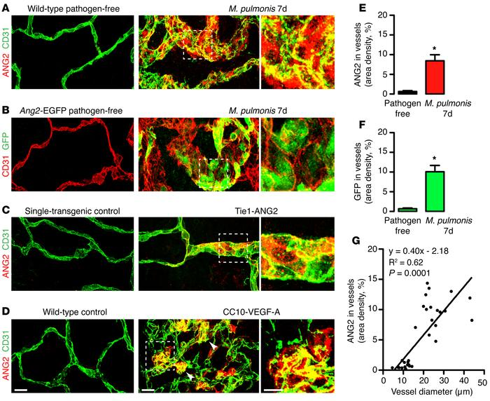 ANG2 expression in endothelial cells at sites of vascular remodeling. (A...