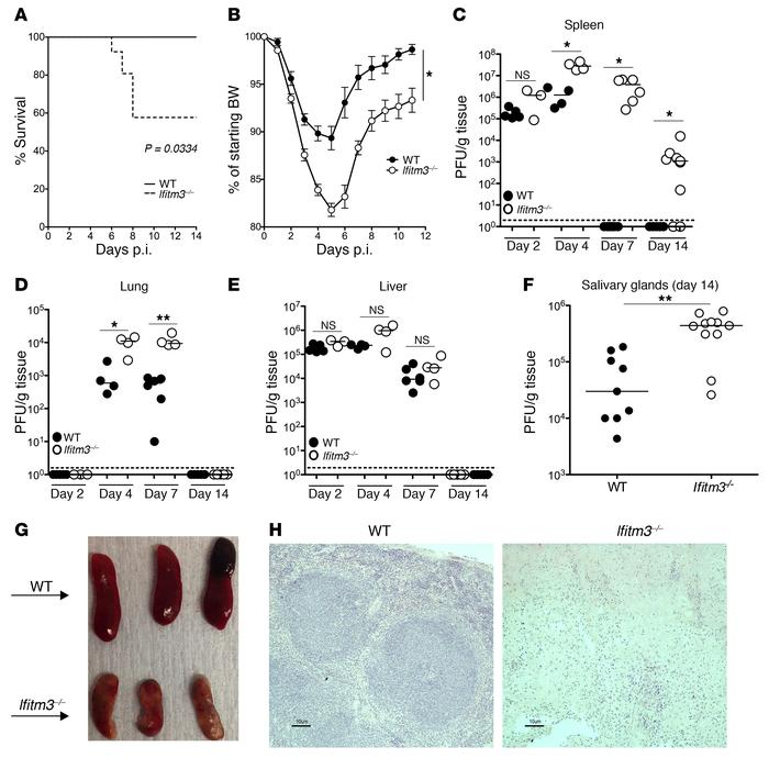 IFITM3 affords critical protection from MCMV infection. WT and Ifitm3–/–...
