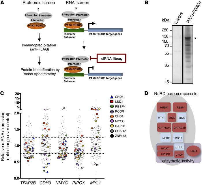 Two-step proteomic and siRNA screen identifies putative PAX3-FOXO1 inter...