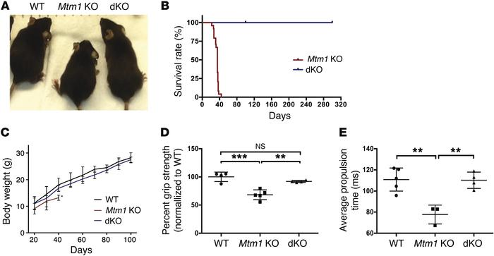 Muscle-specific knockout of Pik3c2b prevents the phenotype associated wi...
