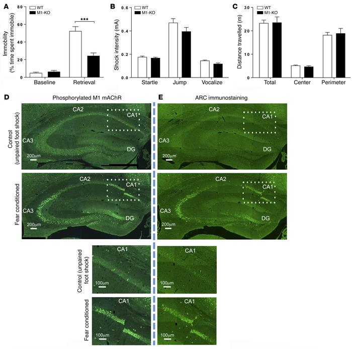M1 mAChRs play an important role in hippocampal-dependent learning and m...