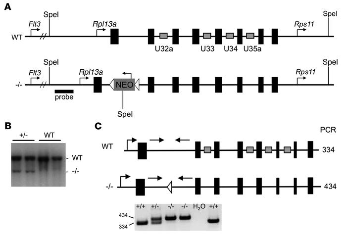 Generation of mice lacking Rpl13a snoRNAs. (A) WT locus and targeting co...