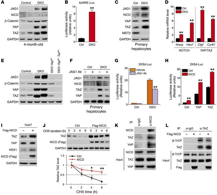 Notch signaling activates and forms a positive feedback loop with YAP/TA...