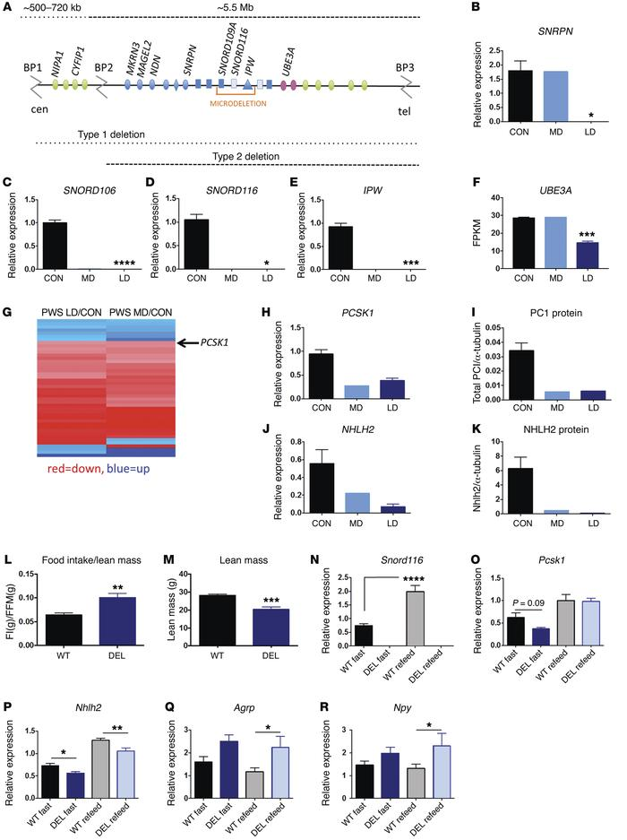 NHLH2 and PCSK1 are reduced in PWS iPSC-derived neurons and Snord116p–/...