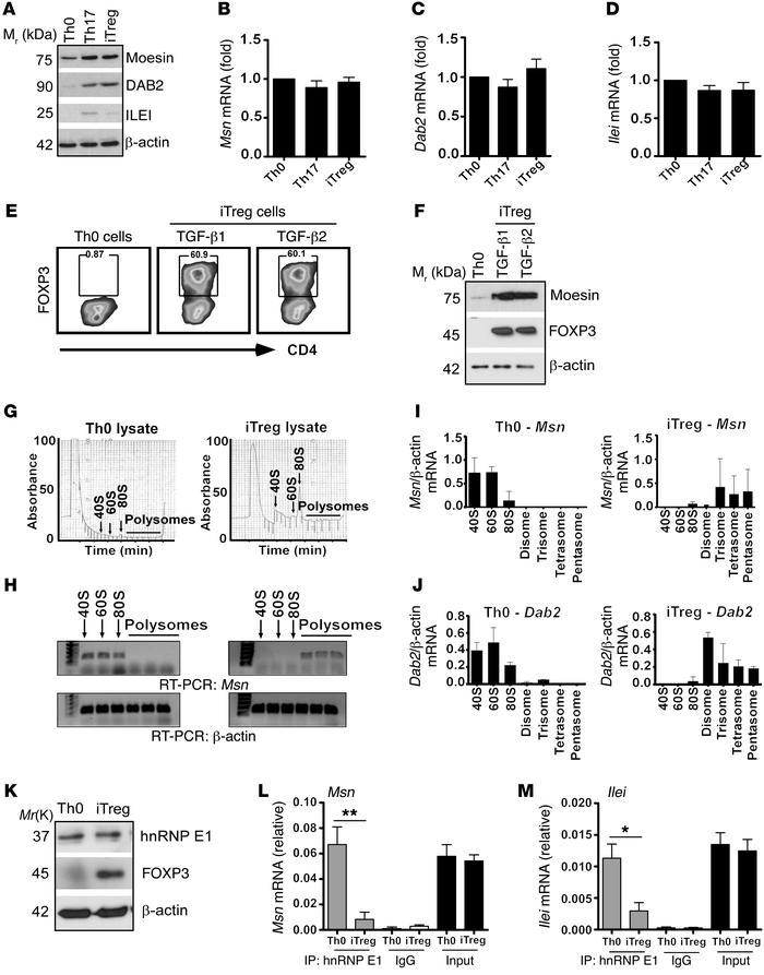 TGF-β translationally upregulates moesin mRNA expression within iTregs. ...