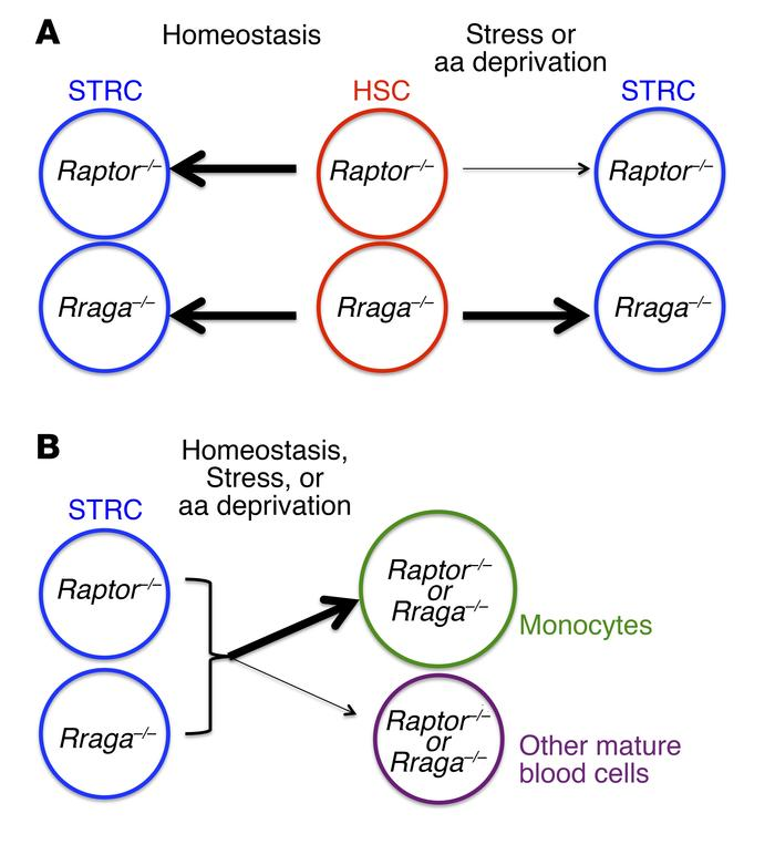 Model depicting differential requirements for mTORC1 regulation by nutri...