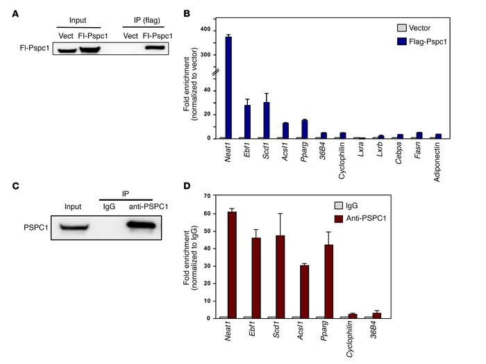 PSPC1 selectively interacts with certain adipocyte RNAs. (A) Immunoblot ...