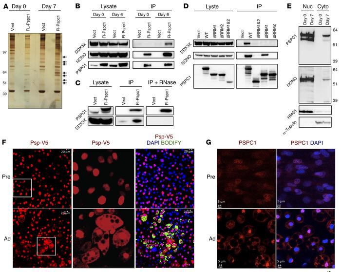 PSPC1 interacts with DDX3X and translocates from nucleus to cytoplasm du...