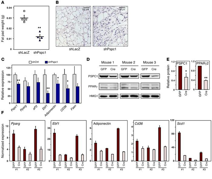 PSPC1 is important for adipocyte differentiation and maintenance in vivo...