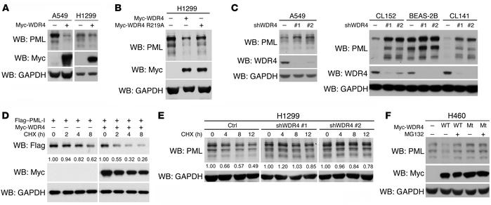 WDR4 promotes PML proteasomal degradation. (A–C) Western blot analysis o...