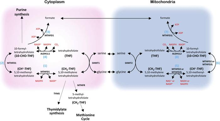 The folate cycle in cancer. Cytosolic and mitochondrial compartments of ...