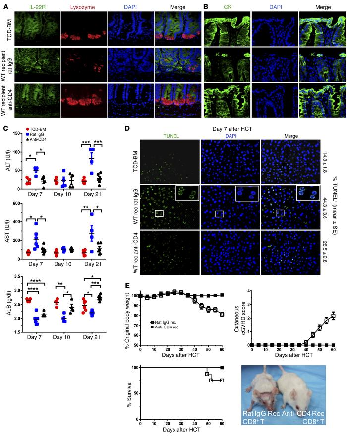 Depletion of donor CD4+ T cells protects Paneth cells, colonic epithelia...