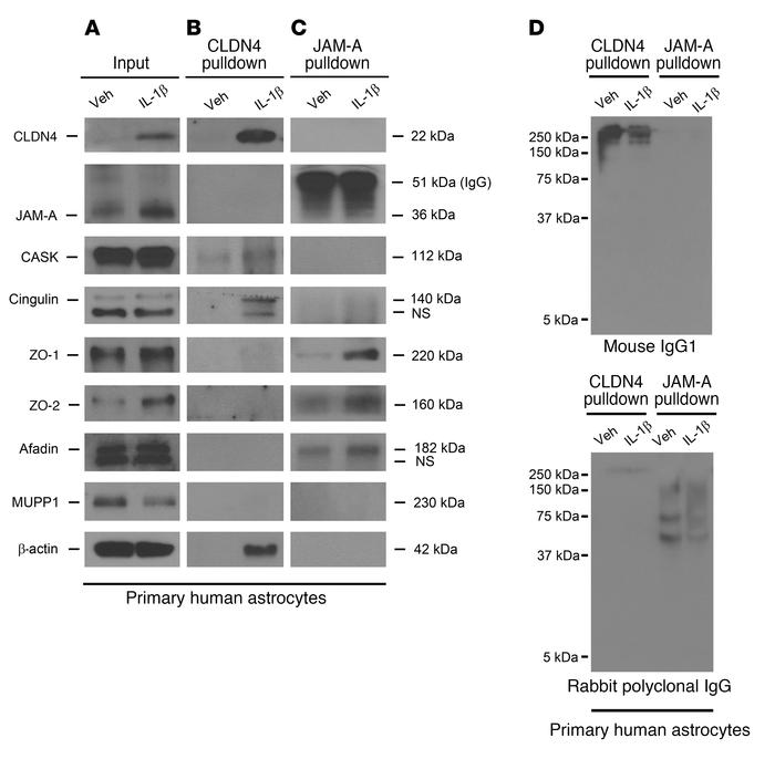 CLDN4 and JAM-A coimmunoprecipitate with canonical TJ complex proteins. ...