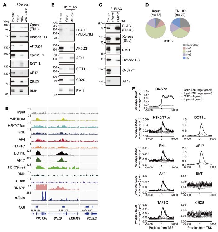 Genomic localization of 3 ENL-containing complexes. (A) ENL-associating ...