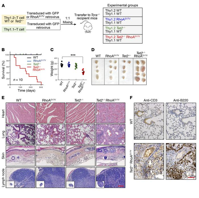 Recipient mice transferred with Tet2–/– RhoAG17V T cells have an inflamm...