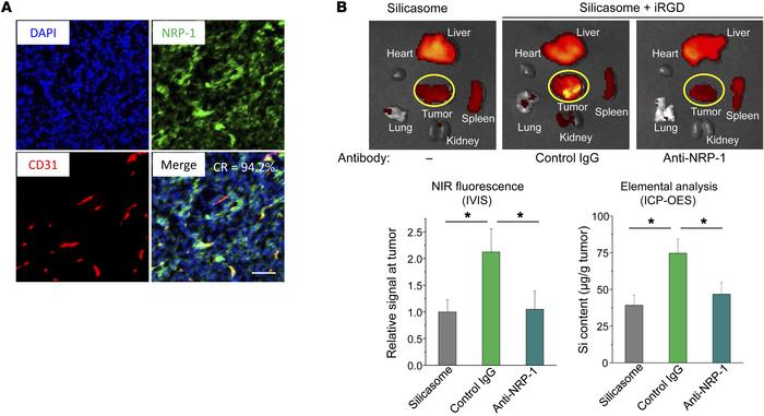 iRGD-mediated silicasome uptake requires NRP-1 expression on the tumor v...