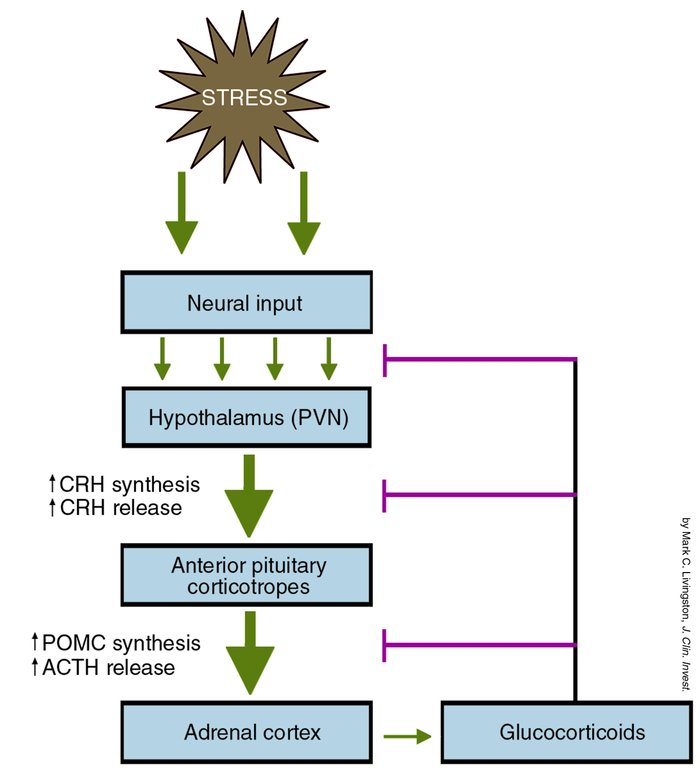 Schematic representation of the hypothalamic-pituitary-adrenal (HPA) axi...