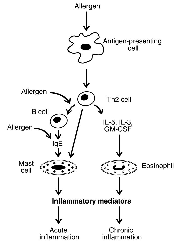 Proposed mechanisms for the pathogenesis of inflammation in asthma. Wher...