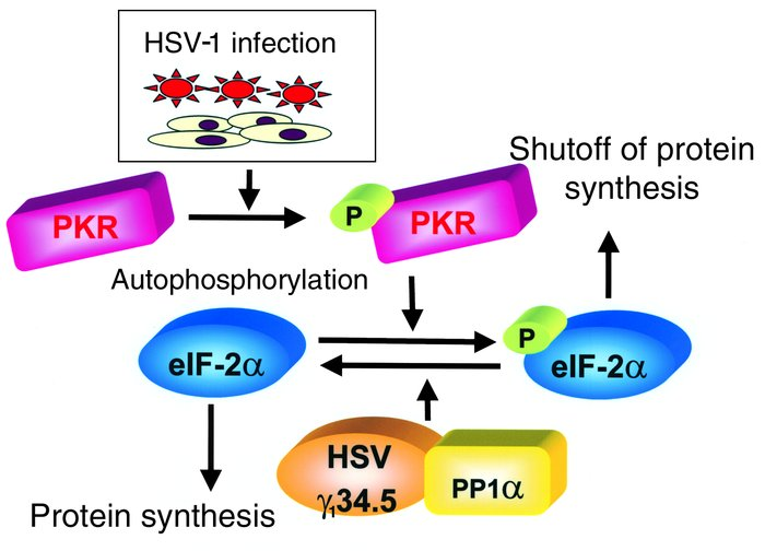 Diagram of the regulation of protein synthesis by γ134.5 in HSV-1–infect...